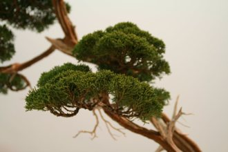 EBA2013 nicola crivelli - juniperus chinensis 12