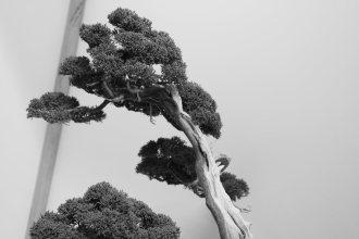 EBA2013 nicola crivelli - juniperus chinensis 24