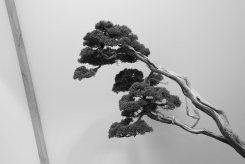 EBA2013 nicola crivelli - juniperus chinensis 25