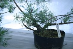 destination bonsai - christophe richy - 122