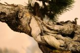 pinus uncinata - oscar roncari - 04