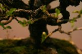 prunus mahaleb - oscar roncari - 06