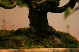 prunus mahaleb - oscar roncari - 07