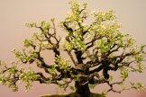 prunus mahaleb - oscar roncari - 09