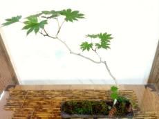 bonsai mori - tokyo - atelier bonsaï 2