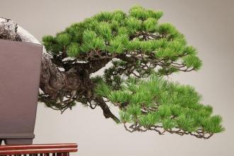 bonsai style semi-cascade - pin blanc 06
