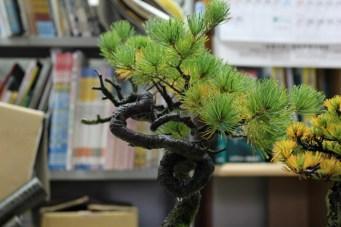 un petit pin avec un tronc très dynamique 2