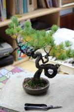 un petit pin avec un tronc très dynamique