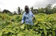 La Côte d'Ivoire bientôt premier transformateur mondial de cacao