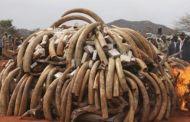 Kenya : le Président brûle 15 tonnes d'ivoire