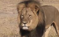 Cecil, le plus célèbre lion du Zimbabwe, a été tué par un chasseur