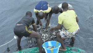 Récolte de poissons d'élevage à Toubab Dialaw