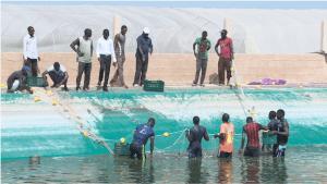 Récolte de poissons d'élevage à Ndiar