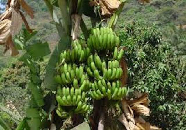 La production de banane au Sénégal