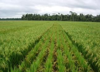 Saint-Louis et la riziculture