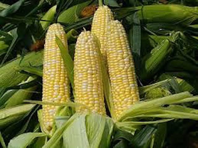 La production nationale de maïs