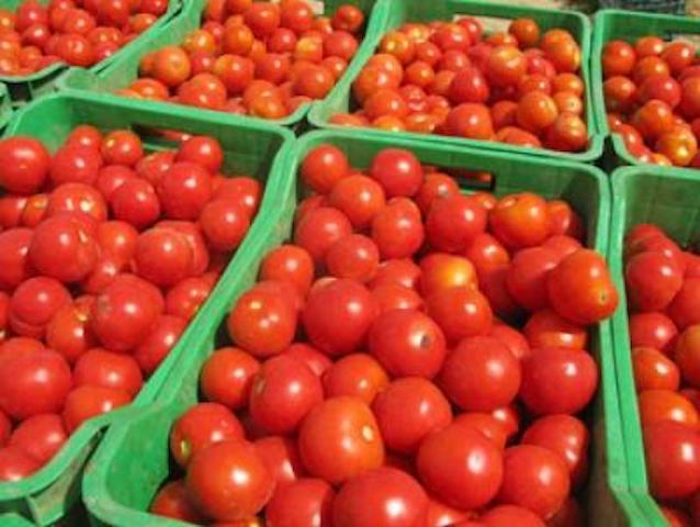 La production de tomate dans la vallée du fleuve Sénégal