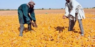 La production céréalière du Sénégal