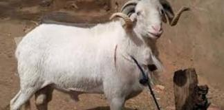 Le mouton de Tabaski volé le conduit en prison