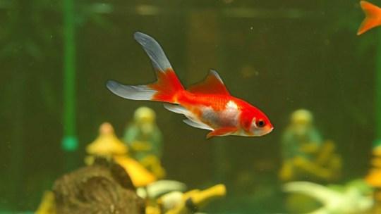 Lo que debes saber sobre el pez Bailarina o Carpa Dorada
