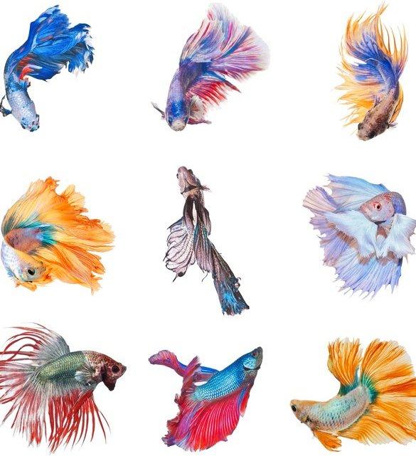 Tipos de peces Bettas (betas)