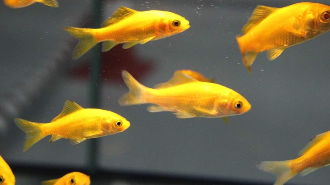 Peces de agua fr a acuariosdiy for Enfermedades de peces de agua fria