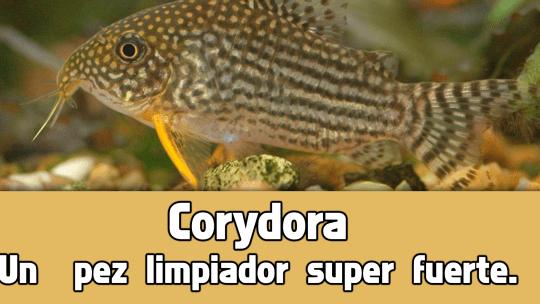 Corydora, un pez limpiador de acuarios.