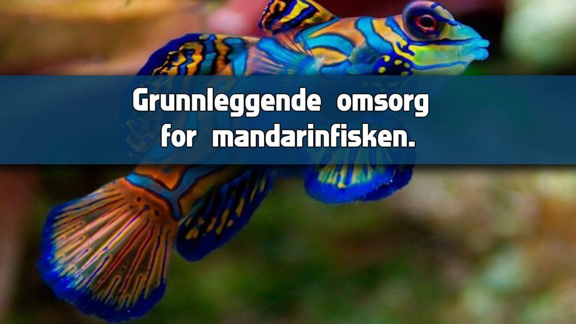 Grunnleggende omsorg for Mandarin eller Mandarin Goby.
