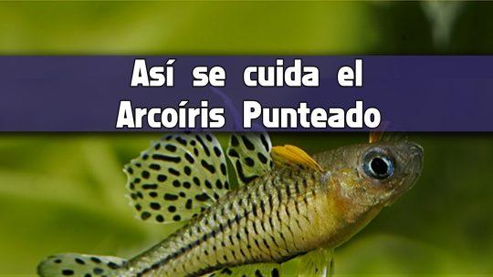 Cuidados básicos del pez arcoíris ojos azules punteado.