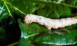 La Acupirámide actúa como epigenética en los gusanos de seda.