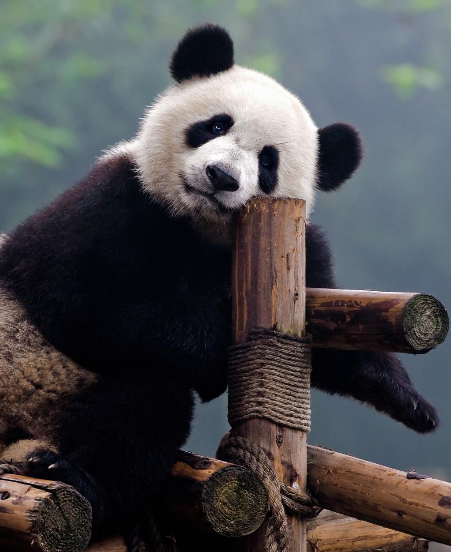 Panda tranquille