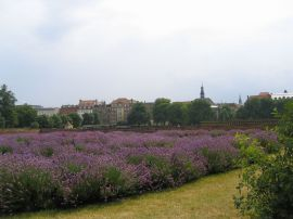 Purple flowers everywhere in Copenhagen