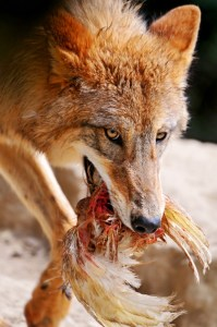 Wolf eating livestock