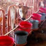 livestock flooring calf watering system
