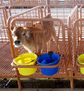 Calf Stall