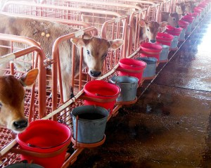 calf watering system