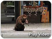 Fiddling Beaver