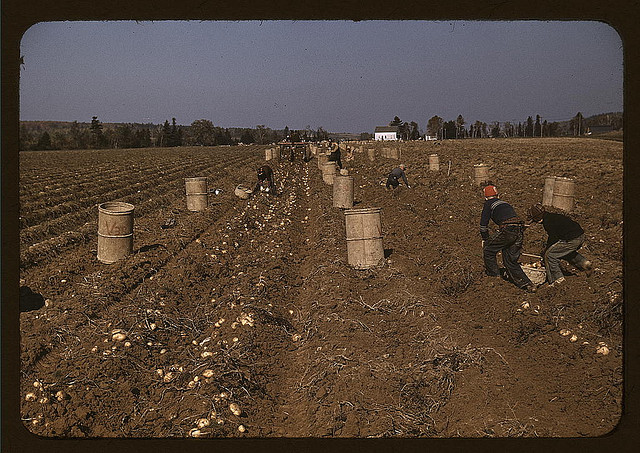 Farm Safety Administration -- Children Picking Potatoes