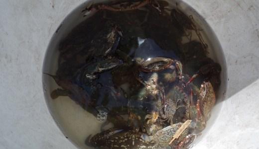 豊川浄化センターでは潮が悪いことで楽しめる釣りがある。網でチヌとガザミを獲る!