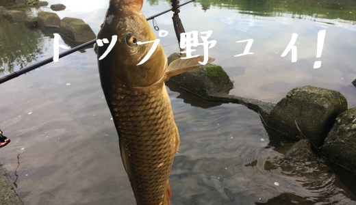 鯉の引きは強烈!トップでも釣れちゃた、よう釣れるルアー
