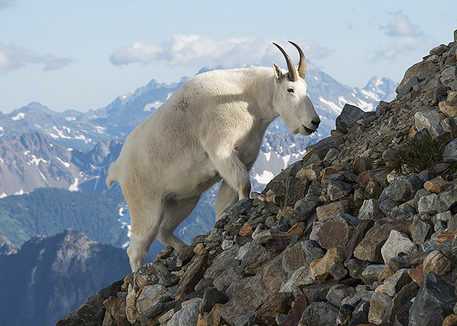 https://i2.wp.com/adambacher.com/wp-content/uploads/2012/08/mountain_goat_wa_north_cascades_2012-08-01_069_blog.jpg