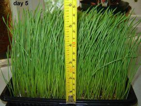Wheatgrass - 14