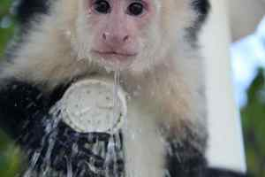 Monkey drinking from a shower
