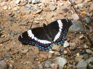Horseshoe Falls - White Admiral Butterfly (Limenitis arthemis)