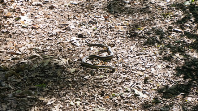 Effigy Mounds National Monument - Snake on the trail