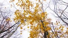 Rib Mountain State Park - Leaves still hanging on