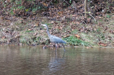 Cummins Falls State Park - Great Blue Herron following me in the river