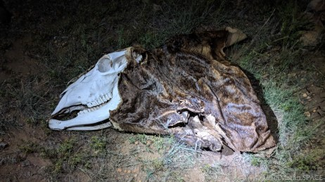 New Mexico Elk Hunt – Cattle skull