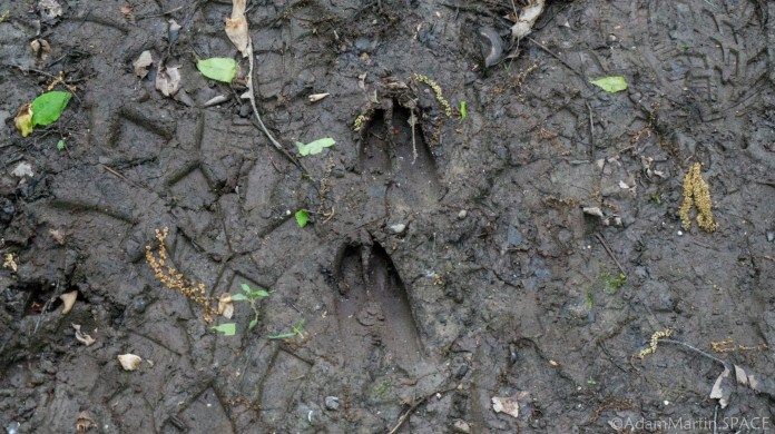Richard Bong State Recreation Area - Large deer tracks in mud