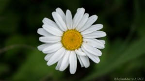 Richard Bong State Recreation Area - Oxeye Daisy wildflowers